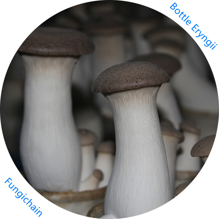 Eryngii Mushroom – Secret to Good Health