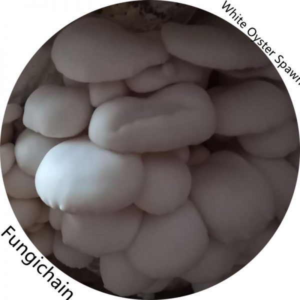 White Oyster